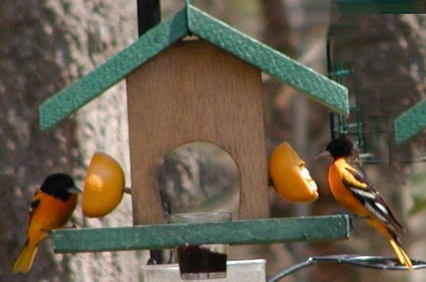 Looker Oriole Oriole Buffet Bird Feeder (LOOK074 SE560) photo