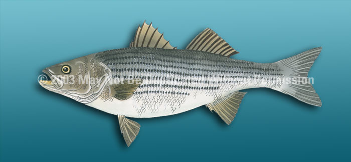 ClearVue Graphics Window Graphic - 30x65 Striped Bass Light Blue FSH-013-30-65