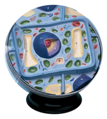 Hubbard Scientific 2056 Plant Cell Model only