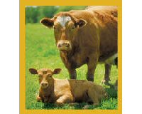 Magnetic Bookmark Cow With Calf  - Brown Bookmark
