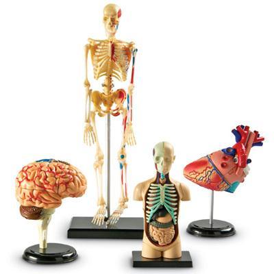 Learning Resources LER3338 Anatomy Models Bundle Set