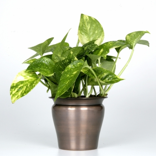 ... 01 Exotic Angel Plants – Pothos Golden in 4.5 LE Philodendron Plant