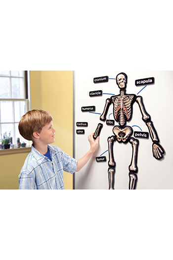 Educational Insights EI-1760 Hands On 3D Magnets Skeletal System