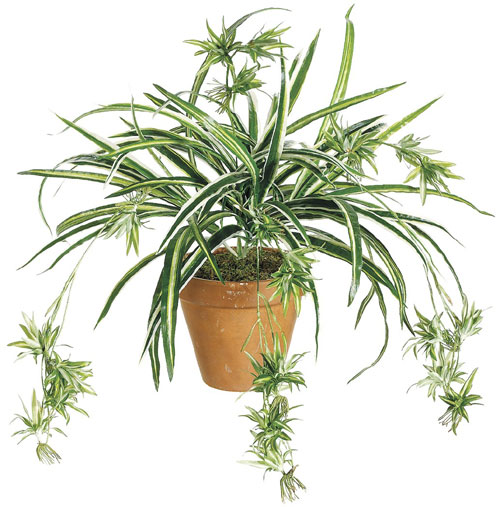 34 Inch Spider Plant x80  Green and White  Qty of 12