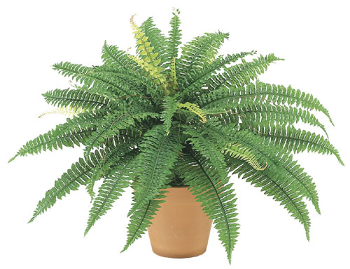23 Inch Boston Fern Bush x42 - Qty of 6