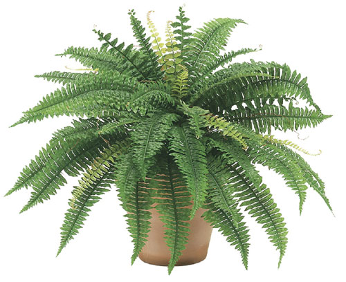 Image of 25 Inch Boston Fern Bush x48 - Qty of 6