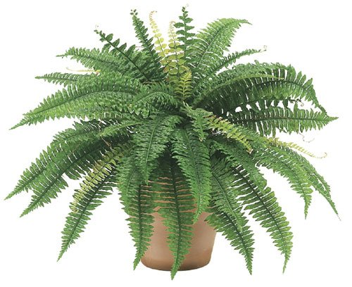 25 Inch Boston Fern Bush x48 - Qty of 6