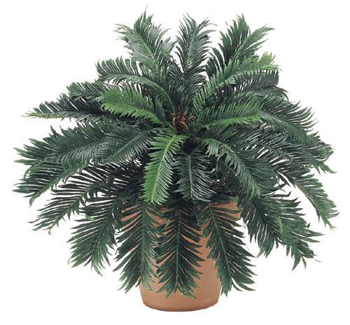24 Inch Cycas Palm Bush x30 - Qty of 6