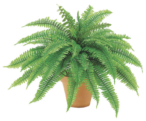 24.5 Inch Boston Fern Bush - Qty of 4