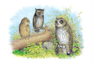 Short-Eared Owl and Screech Owl 20x30 Poster