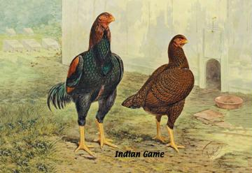 Indian Game - Chickens - 24x36 Giclee