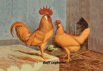 "Buyenlarge 05645-2G24x36 Buff Leghorns 24"" x 36"" Giclee Print On Standard Paper"