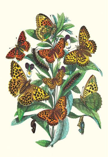 Butterflies: A. Dia A. Lathonia et al. 24x36 Giclee