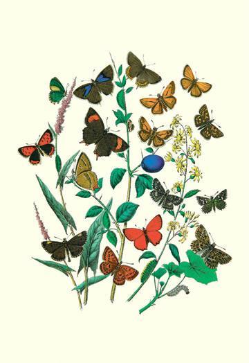 Butterflies: P. Sylvanus Z. Quercus et al. 24x36 Giclee