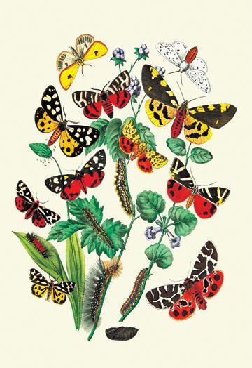 Moths: N. Plantaginis A. Purpurea et al. 24x36 Giclee