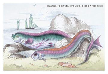 Hawkins Gymnetrus and Red Band Fish 24x36 Giclee