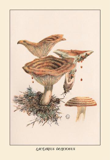 Lactarius Deliciosus 12x18 Giclee On Canvas
