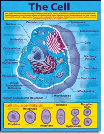 "CARSON DELLOSA CD-414019 17"" x 22"" The Cell Chartlet"