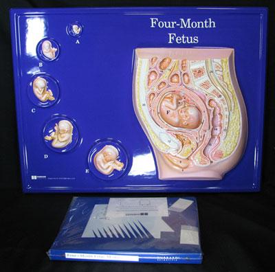 Hubbard Scientific 2662 Four Month Fetus Model Activity Set